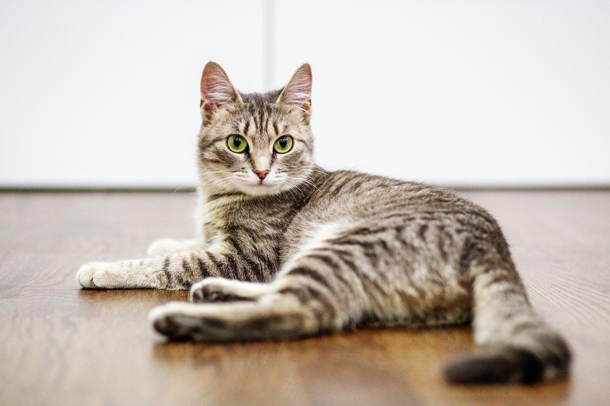 Cat lay on hardwood floors